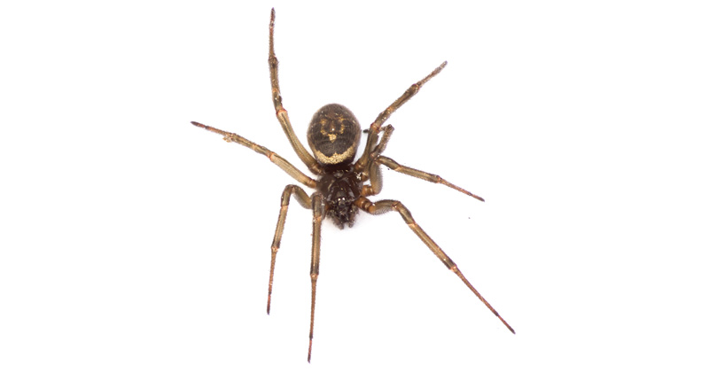 False widow spiders force London school to shut